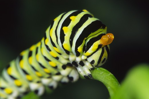 Black Swallowtail caterpillar, late instar, on Italian parsley in garden, defensive glands everted (Papilio polyxenes asterius) Ithaca, NY : Stock Photo