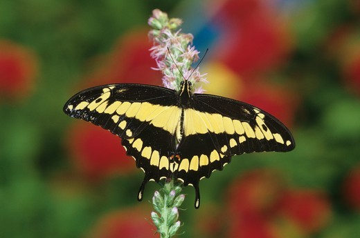 Stock Photo: 4179-15217 Giant Swallowtail Butterfly (Papilio cresphontes), nearctic & neotropical