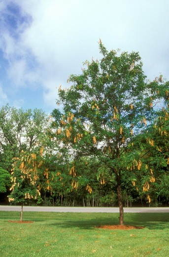 Cicada Damage to Oak & Honey Locust Tree (Magicicada sp.), 2004, Dayton, OHIO : Stock Photo