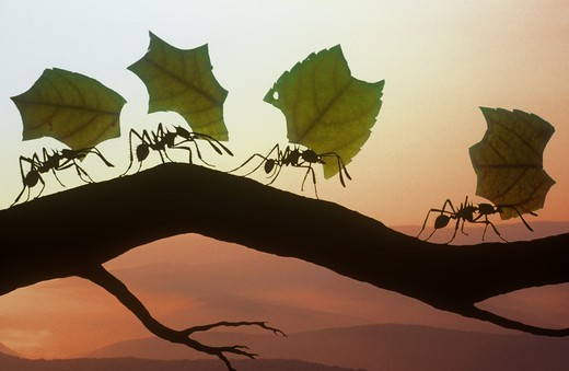 Stock Photo: 4179-15914 Leaf-cutting Ants carrying leaves back to their underground nests, range: North, Central & South America (digital composite)