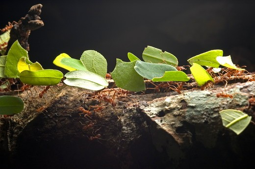 Leaf-cutter Ants (Atta sp), carrying leaves to nest, Carara National Park, Costa Rica. : Stock Photo