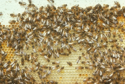 Honeybees on comb (Apis mellifera) California : Stock Photo