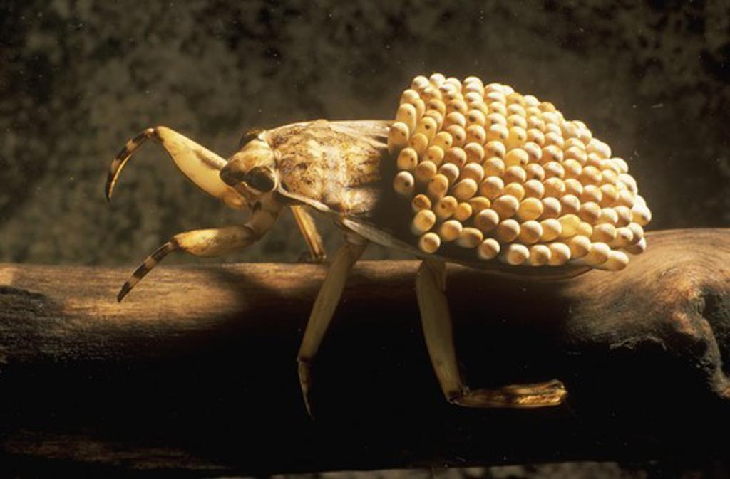 giant waterbug male carries eggs on back belostomatidae