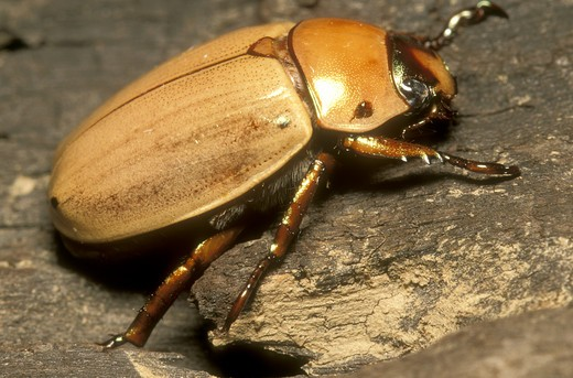 Stock Photo: 4179-16286 Golden Scarab Beetle (Scarabaeidae) Cayo, Belize