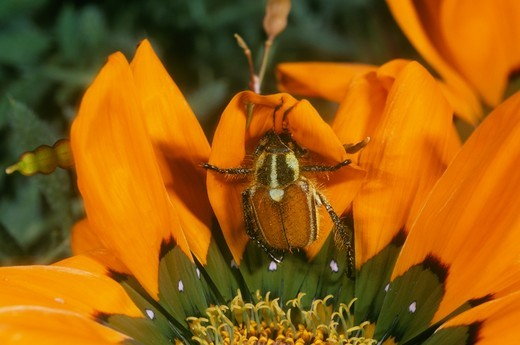 Stock Photo: 4179-16328 Cetoniid or Monkey Beetle on S. African Daisy, Skilpad Wildflower Reserve, S. Africa