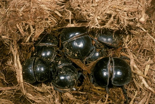Stock Photo: 4179-16333 Flightless Dung Beetles on  (Circellium bacchus) dung (elephant) Addo Elephant NP South Africa - endangered