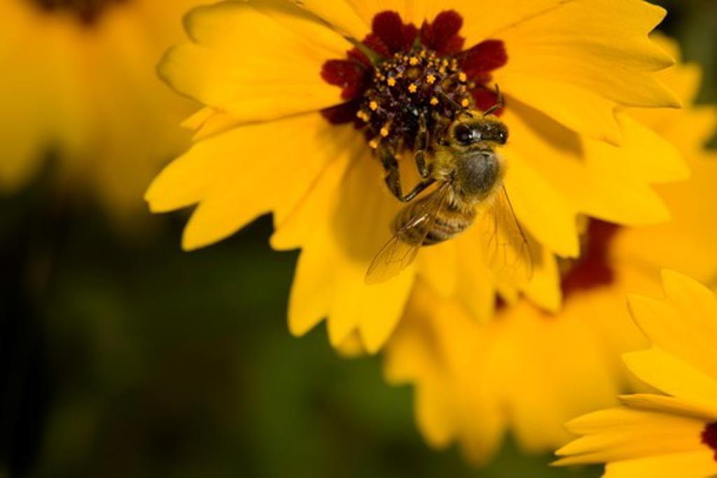 Honeybees working coreopsis field   Coastal Bend, Texas : Stock Photo
