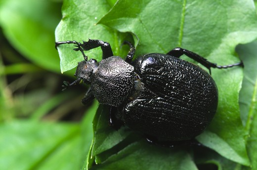 Scarab beetle (Osmoderma scabra) one of the 'odor-of-leather' beetles : Stock Photo