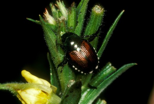 Japanese Beetle (Popilia japonica) Ithaca, NY : Stock Photo