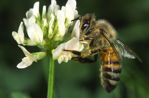 Stock Photo: 4179-16504 Honeybee on white clover in suburban lawn (Apis mellifera) Ithaca, NY