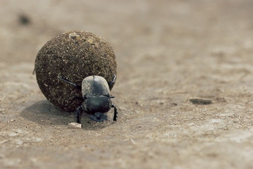 Stock Photo: 4179-16516 Dung beetle (Scarabaeidae) rolling dung, Serengeti National Park, Tanzania