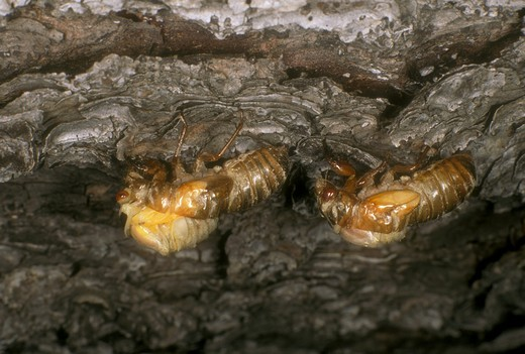 Stock Photo: 4179-16580 17 yr. or Periodical Cicada (Magicicada sp.) Nymphs shedding last skin