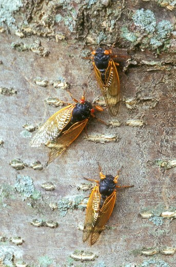 Stock Photo: 4179-16629 Three Cicadas on Tree Trunk, 2004 (Magicicada sp.), Dayton, OH