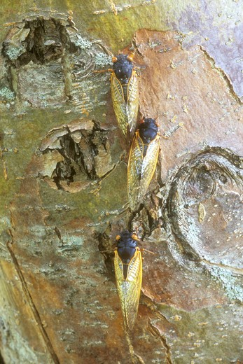 Three Cicadas on Tree Trunk, 2004 (Magicicada sp.), Dayton, OH : Stock Photo