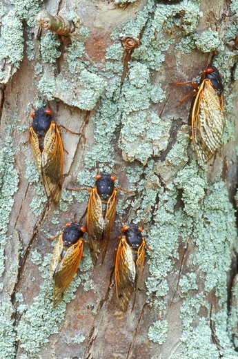 Five Cicadas on Lichen covered Tree Trunk, 2004 (Magicicada sp.), Dayton, OH : Stock Photo