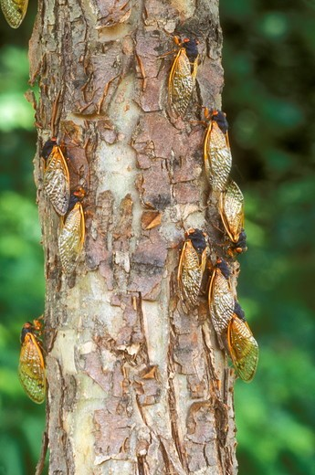 Stock Photo: 4179-16632 Cicadas on Tree Trunk, 2004 (Magicicada sp.), Dayton, OH