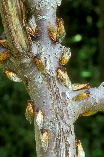 Stock Photo: 4179-16633 Many Cicadas on Tree Limbs, 2004 (Magicicada sp.), Dayton, OH