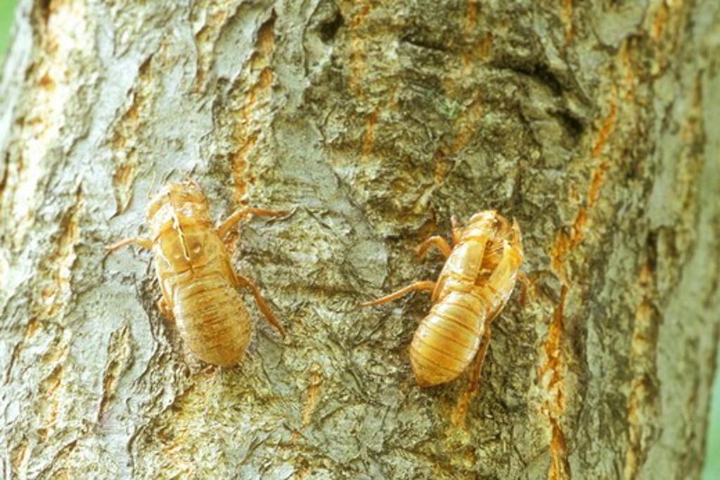 Many Cicada Exoskeletons on Tree Trunk, 2004 (Magicicada sp.), Dayton, OH : Stock Photo