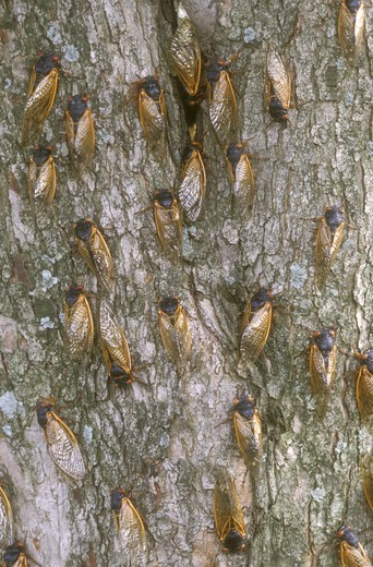 Stock Photo: 4179-16637 Cicadas on Tree Trunk (Magicicada sp.), Dayton, OH