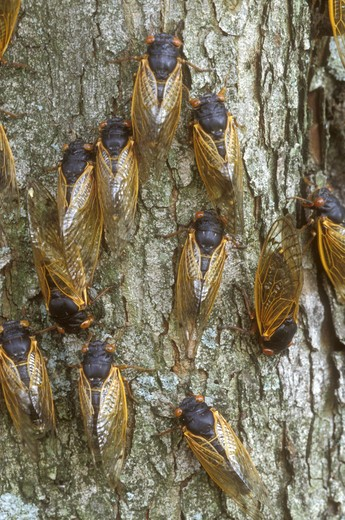 Cicadas on Tree Trunk (Magicicada sp.), Dayton, OH : Stock Photo