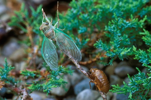 Stock Photo: 4179-16639 Ciocada and Nymphal Case (Cicada sp.), Dayton, OH