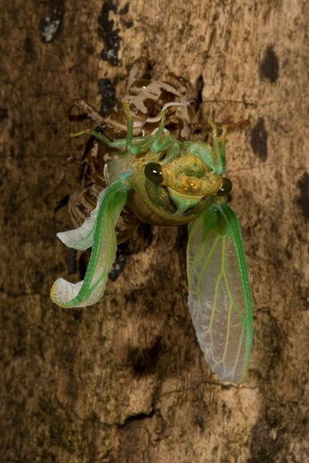 Stock Photo: 4179-16651 Annual Cicada (Tibicen dorsata) Eastern PA, USA