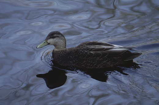 American Black Duck (Anas rubripes), Connecticut : Stock Photo