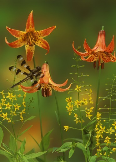 Stock Photo: 4179-16875 Dragonfly: Twelve-spot Skimmer on Summer Wildflowers, Adirondacks, New York (Libellula pulchella)