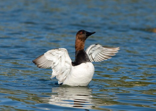 Stock Photo: 4179-1702 Canvasback (Aythya valisineria), male flapping wings after bathing, California, USA
