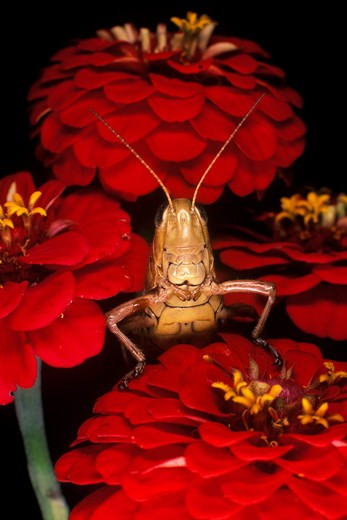 Short-horned Grasshopper on Zinnia Flower (family: Acrididae) : Stock Photo