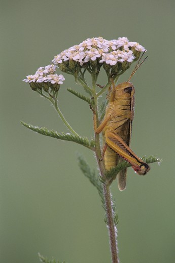 Grasshopper Laden w/Dew Alger Co./MI : Stock Photo