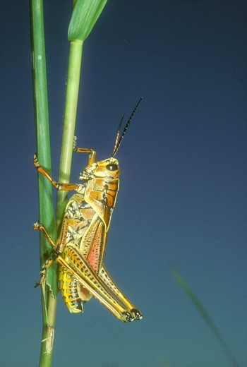 Stock Photo: 4179-17121 SE Lubber Grasshopper (Romalea microptera) Loxahatchee NWR, Florida