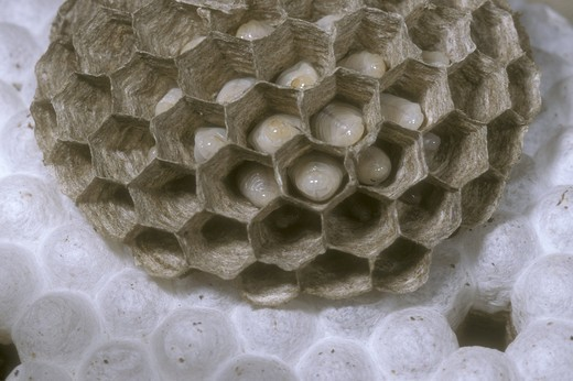 Bald-faced Hornet Nest (Vespula maculata) interior of nest showing cocoon cells w/ pupae - Washington Co. NY : Stock Photo