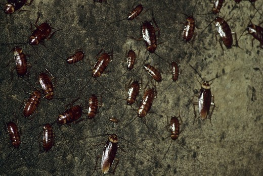 Stock Photo: 4179-17421 Cockroach - Cave Gomantong Cave, Borneo