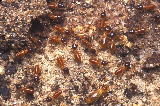 Nasute Termite soldiers and workers,Nasutitermes sp. Manaus, Amazonas, Brazil : Stock Photo