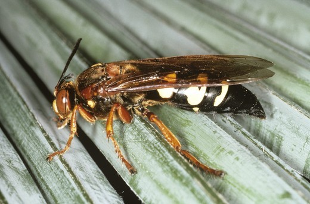 Stock Photo: 4179-17768 Cicada Killer Wasp (Sphecius speciosus) East Texas
