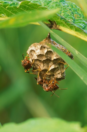 Stock Photo: 4179-17789 Paper Wasps building Nest, Dayton, OH (Polistes sp.)