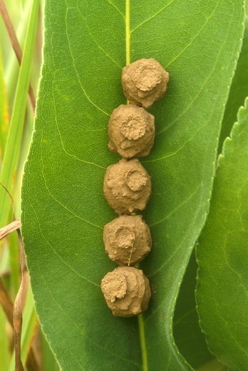 Potter Wasp Chambers on Leaf (Eumenes fraternus), Dayton, OH, Ohio : Stock Photo