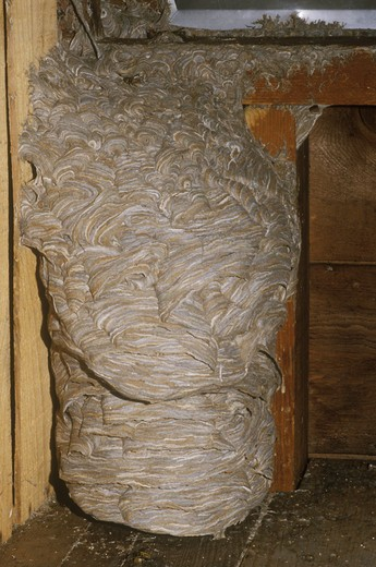 Stock Photo: 4179-17832 Yellowjacket Wasp Nest in Attic (Vespula sp.), La Crosse, WI