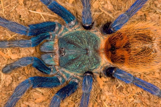 Greenbottle Blue Tarantula (Chromatopelma cyaneopubescens) native to dry forests in Venezuela : Stock Photo