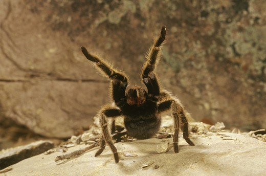 Texas Hairy Tarantula (Aphonopelma sp) Defense Pose - SW USA : Stock Photo