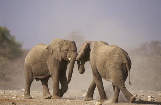 Stock Photo: 4179-18314 African Elephant Fighting (Loxodonta africana) Etosha, Namibia