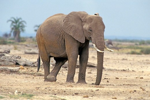 Stock Photo: 4179-18374 Adult female African Elephant resting cross legged in Aboseli National Park, Kenya, Africa.