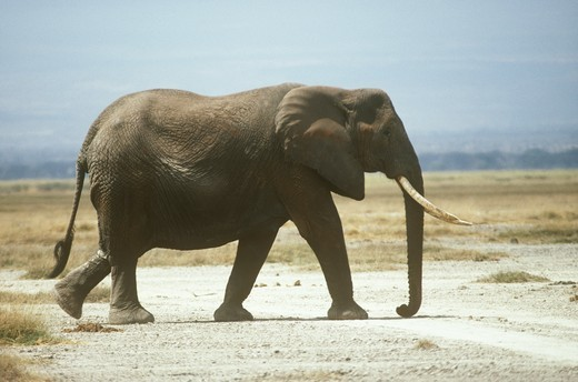 African Elephant Female (Loxodonta africana) Walking, Amboseli NP, Kenya : Stock Photo