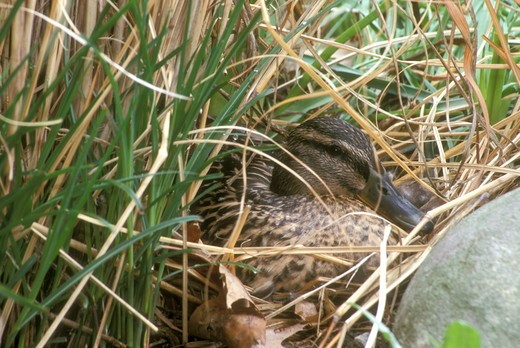 Stock Photo: 4179-1841 Nesting Mallard (Anas platyrhnchos) Dayton Ohio