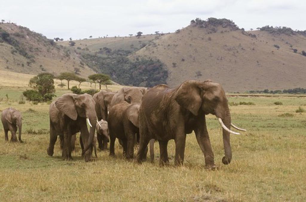 Group of African Elephants (Loxondonta africana) walking, Masai Mara, Kenya : Stock Photo