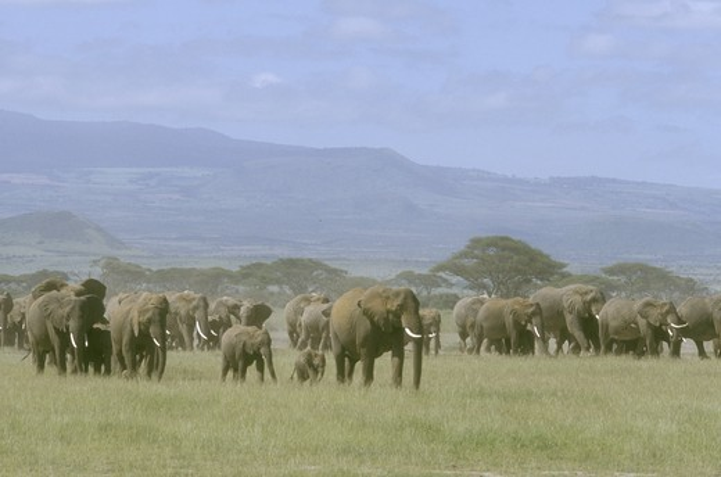 Stock Photo: 4179-18490 Afr. Elephant Herd walking across Plain, Amboseli NP, Kenya (Loxodonta africana)