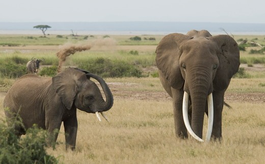 Stock Photo: 4179-18500 Elephant with very big tusks and young one dusting (Loxodonta africana), Amboseli National Park, Kenya