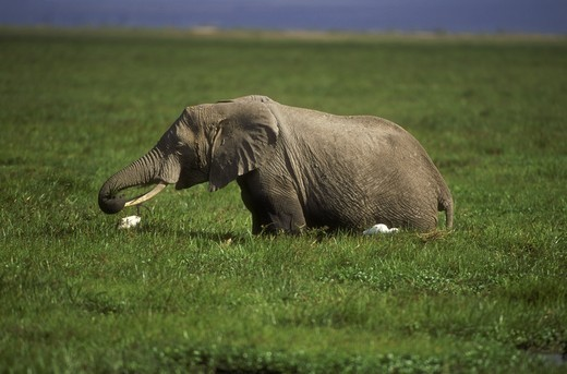 Stock Photo: 4179-18556 African Elephant eating (Loxodonta africana), Amboseli NP, Kenya