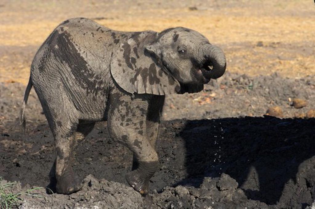 Stock Photo: 4179-18581 African Elephant (Loxodonta africana) Infant drinking at waterhole, Chobe National Park, Botswana, Africa, 10/1/2005, Digital Capture